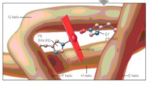 A cartoon drawing of the structure of hemoglobin around heme molecule. The histadines in helix F8 and E7 interact directly with the heme molecule.  figure2