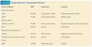 Eukaryotic cells contain three major types of cytoskeletal filaments