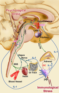 IL-1 mediates stress-induced activation of the HPA axis