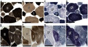 Serial cross-sections of the m. longissimus dorsi of Mesoplodon densirostris