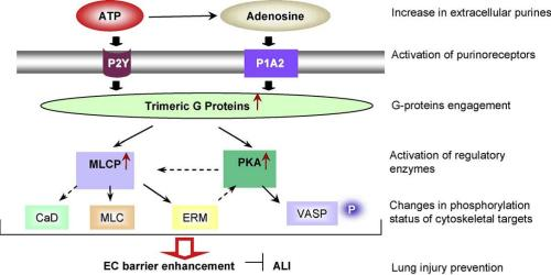 Signal transduction pathways implicated in ATP-mediated endothelial barrier enhancement