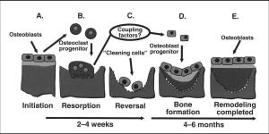 The bone-remodeling cycle