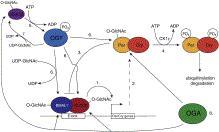 links between O-GlcNAc and transcriptional regulation.