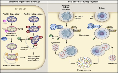 roles-of-autophagy-proteins-in-the-removal-of-unwanted-organelles-and-in-the-removal-of-cell