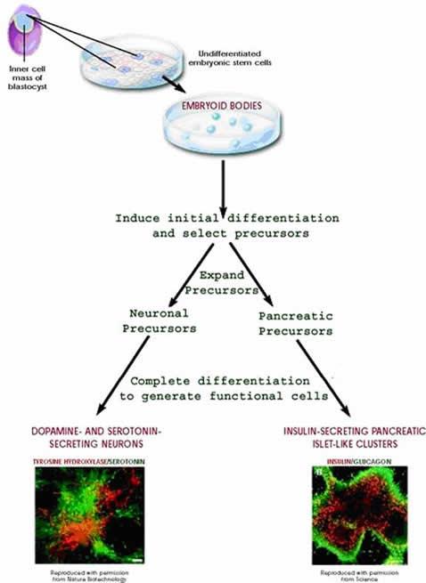 stem cell differentiation figure1_sm