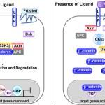 canonical Wnt signaling pathway wntfig1
