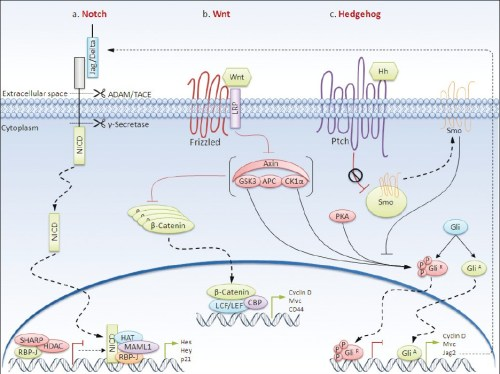 Notch, Wnt, and Hedgehog signaling pathways regulate normal and stem cell fate. JCarcinog_2011_10_1_38_91413_u1