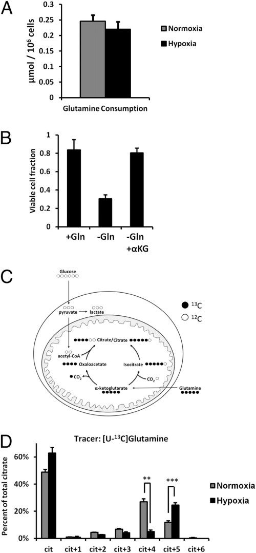 Glutamine carbon is required for hypoxic cell viability
