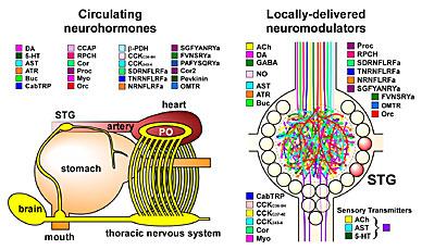 neurohormones and neuromodulators