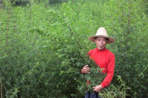 Tons of Artemisia