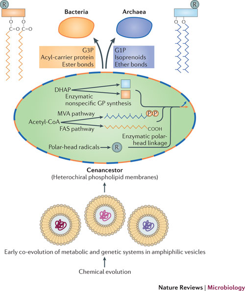 Image of: Cell Membrane Early Evolution Of Lipid Membranes And The Three Domains Of Life Slideplayer Cytoskeleton And Cell Membrane Physiology Leaders In