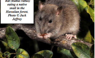 Rat (Rattus rattus) eating a native snail in the Hawaiian forest. Photo by Jack Jeffrey