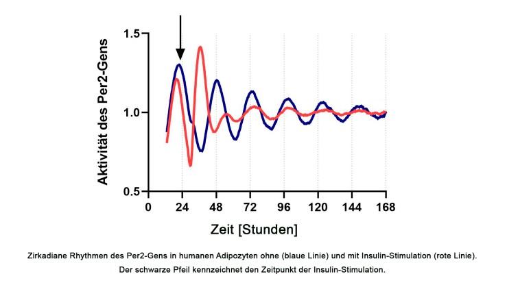 Zirkadiane Rhythmen des Per2-Gens in humanen Adipozyten ohne (blaue Linie) und mit Insulin-Stimulation (rote Linie). Der schwarze Pfeil kennzeichnet den Zeitpunkt der Insulin-Stimulation. Zirkadiane Rhythmen des Per2-Gens in humanen Adipozyten ohne (blaue Linie) und mit Insulin-Stimulation (rote Linie). Der schwarze Pfeil kennzeichnet den Zeitpunkt der Insulin-Stimulation. (Quelle: DIfE)