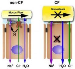 Cystic Fibrosis Electrolyte Flow