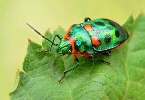 crop-bug