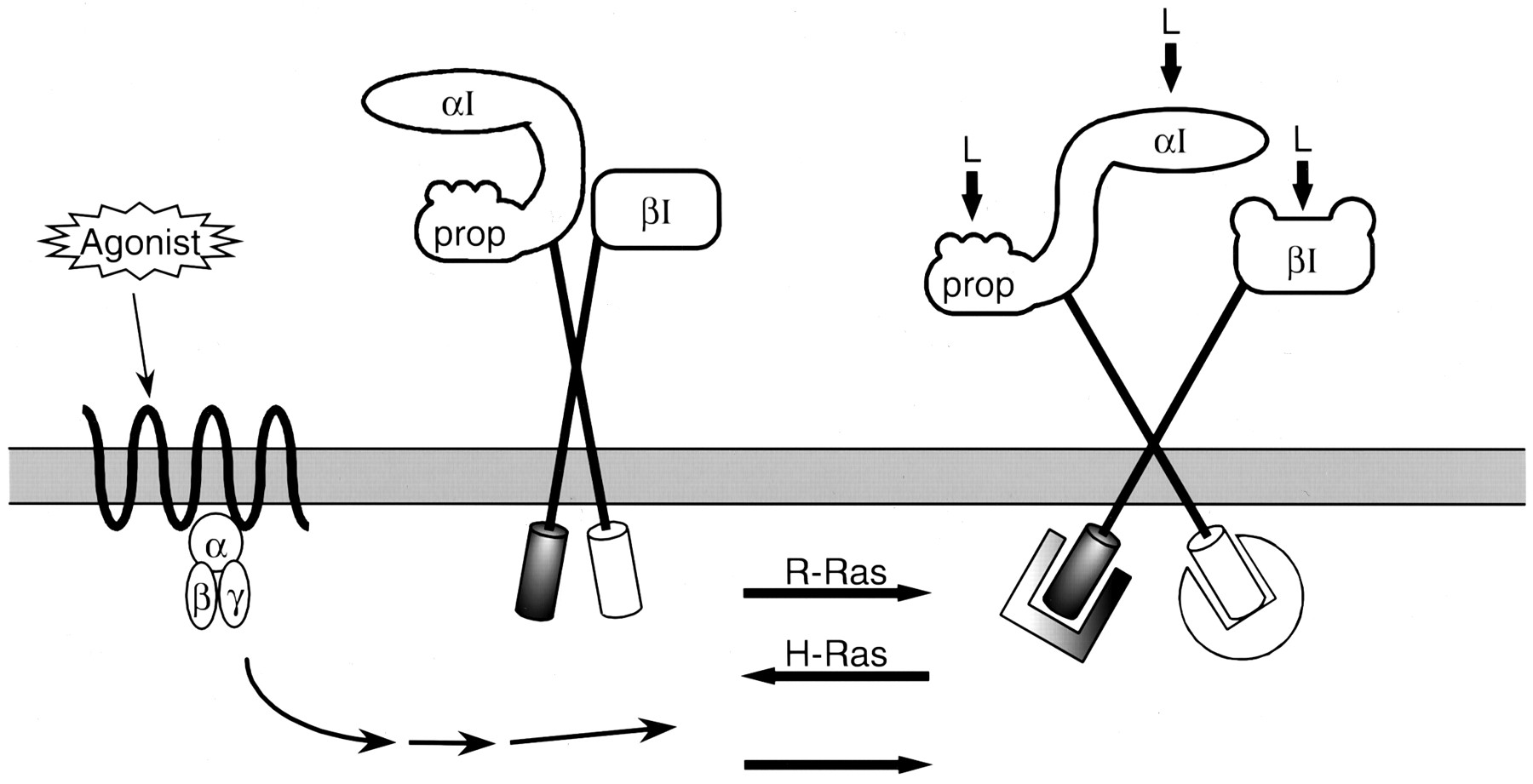 Signal Transduction And Signal Modulation By Cell Adhesion Receptors The Role Of Integrins