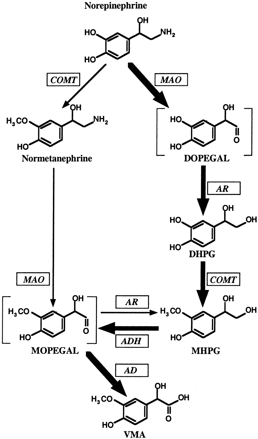Catecholamine Metabolism A Contemporary View With