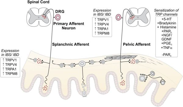 The G Protein–Coupled Receptor–Transient Receptor ...
