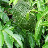 Graviola Leaf