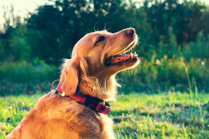 Home Remedies To Get Rid Of Breathing Problems In Dogs