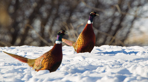 Two roosters in snow
