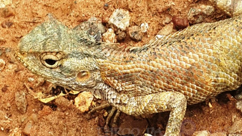 critters,ancient,prehistoric,lizard,face.praveen,karnataka,bangalore,throo da looking glass,b;pg,through the looking glass