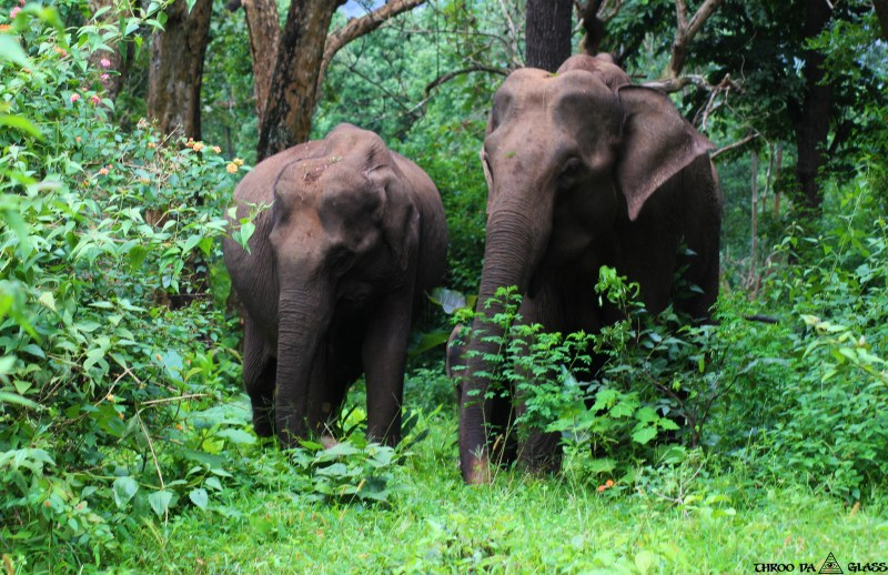 J,jumbo, elephant, family, bandipur forest,jungle,wednesday,abc,wordless,praveen,karnataka,bangalore,throo da looking glass