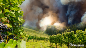 Wine with a Hint of…Smokey Bacon? How Wildfires Can Affect Your Vino
