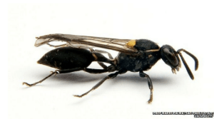 Wasp Venom Could be the Answer to the Cancer Battle