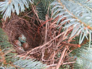 While taking the above picture of the flower bed I was standing beside this small spruce tree. A startled bird flew from the tree. I looked and found her secret...5 little eggs nestled in the branches.
