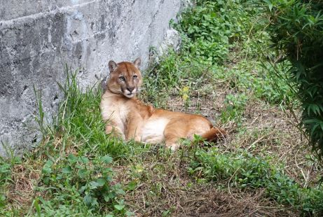 Puma im Zoo