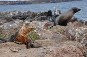 Land iguana; Sea lion