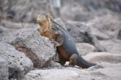 Land iguana, male