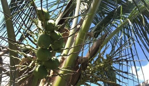フィリピンといえばココナッツ!食べ方や使い方まとめ!