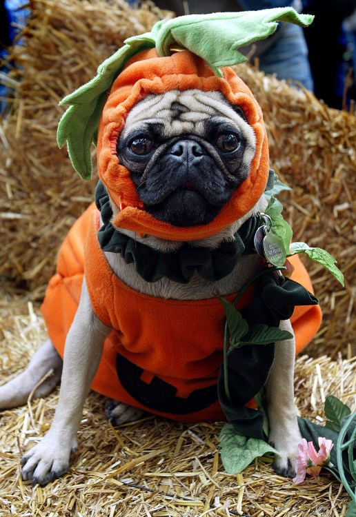Image result for dogs dressed as a pumpkin