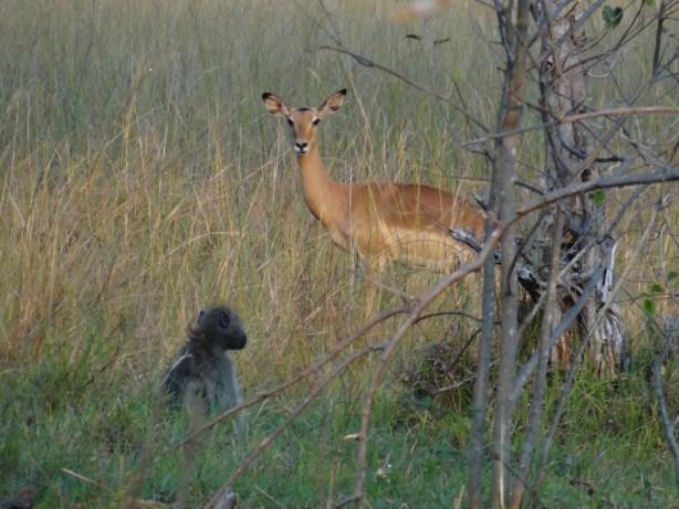 Impala and monkey on the walking safari in botswana