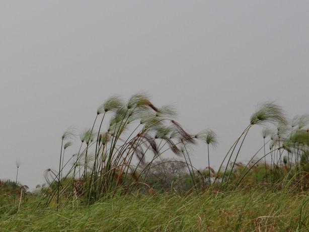 Reeds blowing in the wind in Okavango Delta as we begin our walking safari