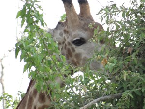 Giraffe snacking at Chobe