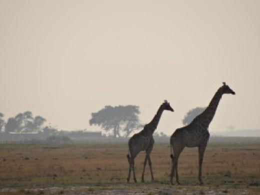 Safari Giraffes Botswana