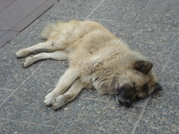 A dog's siesta in Santiago