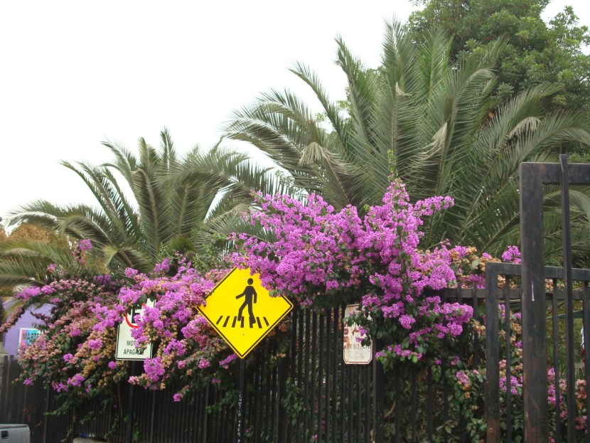 Santiago flowers
