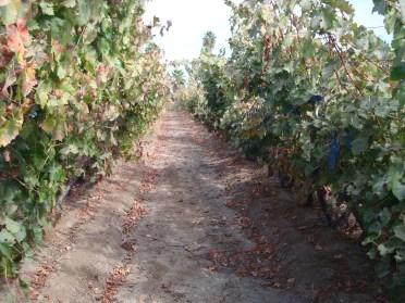 Santiago vineyard