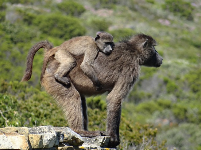 Baby baboon and mother baboon