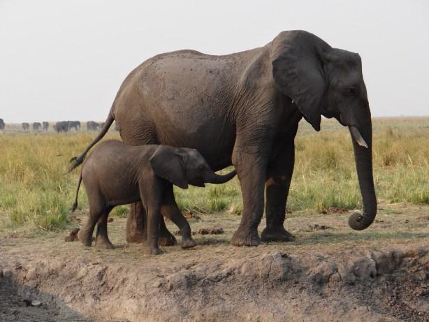 Baby Elephant w/Mom