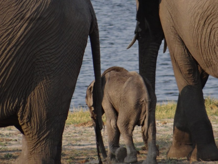 baby elephant botswana