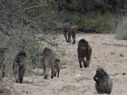 Monkeys South Africa safari