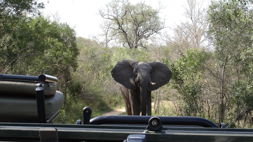Elephant traffic on safari Kruger Sabi Sands