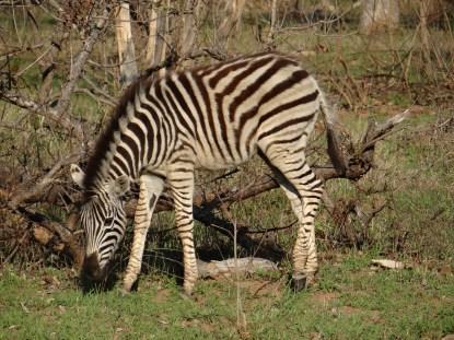 Zebra on safari in south africa sabi sands game reserve