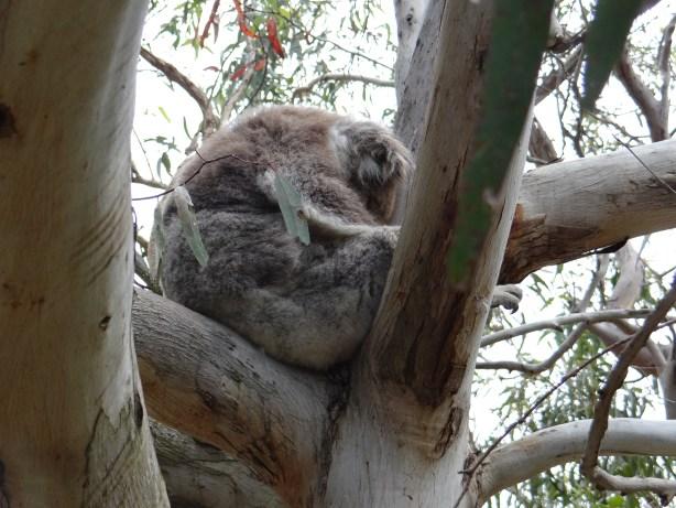 Koala sleeping the day away along The Great Ocean Road