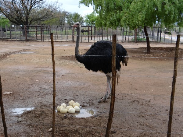 Ostrich male in South Africa